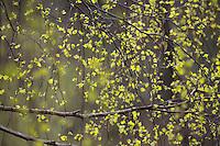 Hänge-Birke, Sand-Birke, Birke, Hängebirke, frisches Laub, Blatt, Blätter im Frühjahr, Betula pendula, European White Birch, Silver Birch
