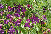 Nicotiana 'Perfume Purple' fragrant scented annual flower plant for the fragrance garden
