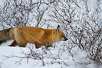 01871-02804 Red Fox (Vulpes vulpes) in snow in winter, Churchill Wildlife Management Area, Churchill, MB Canada