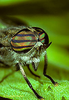 1F02-009z Horse Fly - adult - Hybomitra nitidifrons