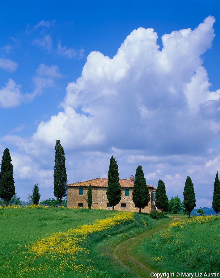 Tuscany, Italy:  Curved road cuts through a field of flowering yellow mustard to Tuscan farmhouse lined with cypress trees