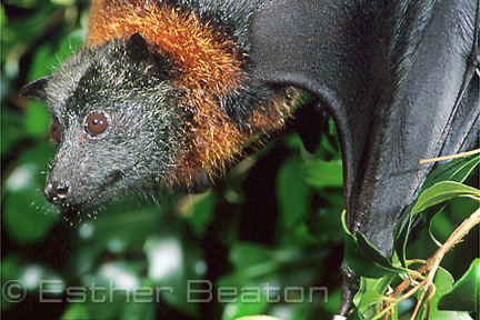 Grey-headed Flying Fox(Pteropus poliocephalus) female close up of face. Sydney, NSW.