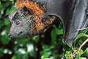 Grey-headed Flying Fox(Pteropus poliocephalus) female close up of face. Sydney, NSW.