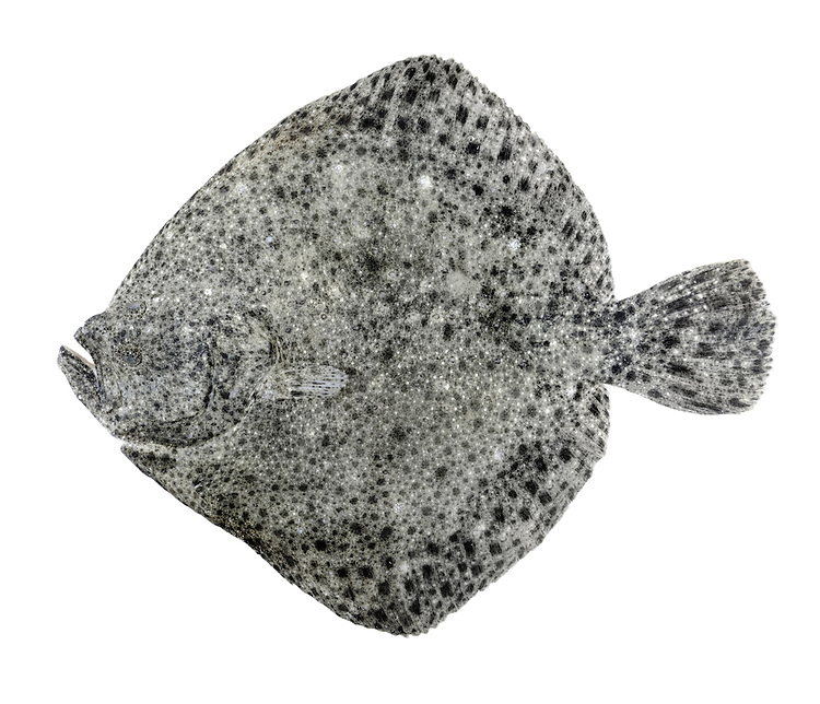 Turbot Psetta maxima Length to 70cm<br /> Massive flatfish, only juveniles of which are found inshore. Favours sandy substrates. Adult lives with left side, and eyes, facing uppermost. Outline is rhomboid-diamond shaped with a pointed head and long tail. Upper surface is typical mottled grey with pale and black spots. Locally common in S and SW.