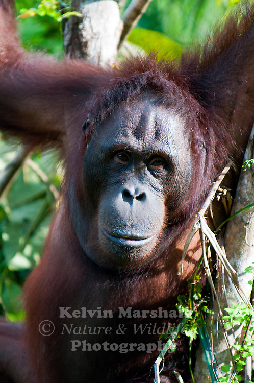 """Laura"" Adult Female Orangutan (Pongo pygmaeus) - Samboja Lestari National Park is the location of Samboja Lodge as part of BOS (The Borneo Orangutan Survival Foundation)"
