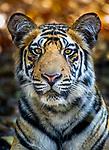 India, Madhya Pradesh, Bandhavgarh National Park, tiger (Panthera tigris)