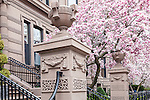 Springtime Magnolias bloom in the Back Bay, Boston, Massachusetts, USA