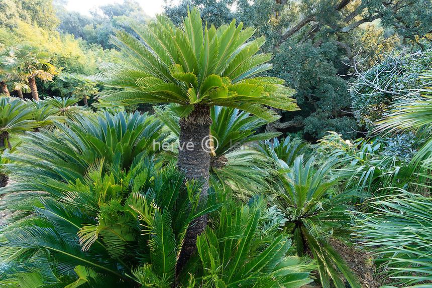 Le domaine du Rayol en février : dans le jardin asiatique, Cycas revoluta<br /> <br /> (mention obligatoire du nom du jardin & pas d'usage publicitaire sans autorisation préalable)