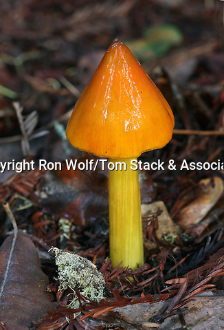 Witch's Hat (Hygrocybe conica) a/k/a Conical Waxy Cap. Santa Cruz Mountains. San Mateo Co.
