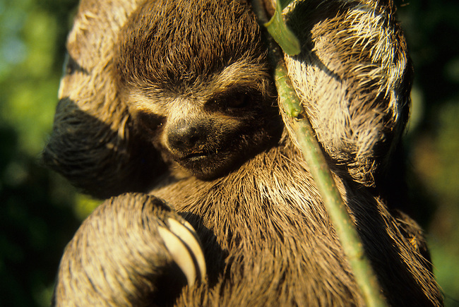 AMAZON, BRAZIL, SLOTH, HANGING ON BRANCH OF TREE IN TROPICAL RAIN FOREST