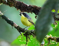 Common tody flycatcher