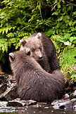 USA, Alaska, two grizzly bear cubs playing together, Wolverine Cove, Redoubt Bay