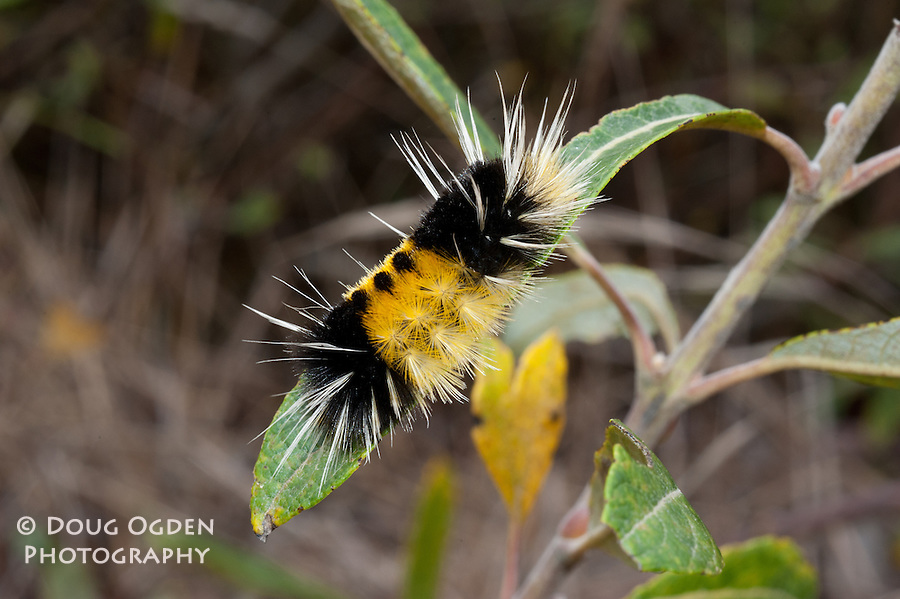 Yellow and black caterpiller with long white hairs, California, Lophocampa maculata