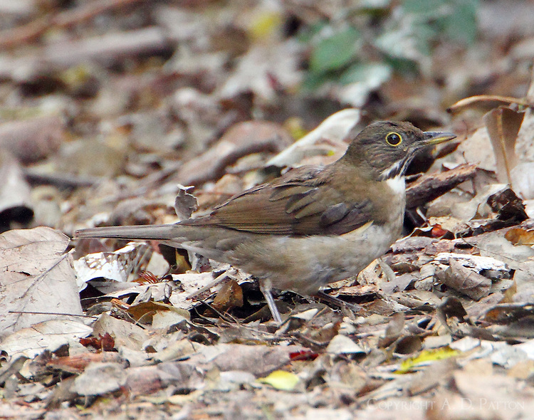 White-throated thrush