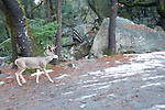 deer in yosemite