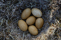 Greater White-fronted Goose (Anser albifrons) nest and eggs. Yukon Delta National Wildlife Refuge, Alaska. June.