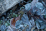 Frost coating the fallen leaves