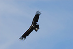 Flying California condor