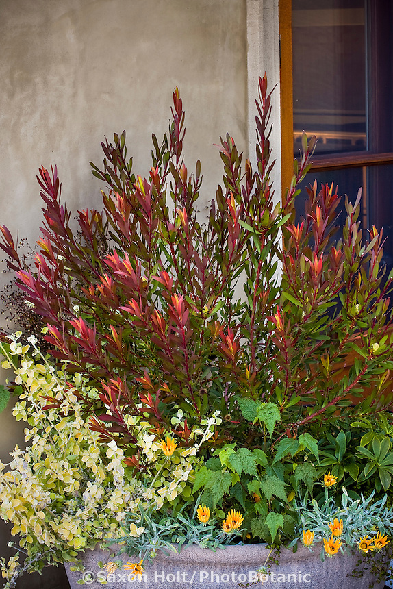 Container of drought tolerant, summer-dry plants including red foliage Leucodendron and Helichrysum petiolare 'Limelight' (Limelight Licorice Plant) in California garden patio
