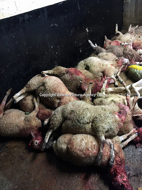 Pictured: The savaged sheep owned by Tom Hadley.<br />