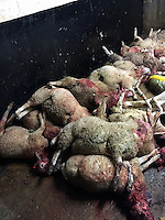 2016 09 09 Dogs kill flock of Sheep, Herefordshire, UK