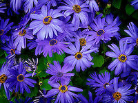 Close up of Senetti (Blue Sky) flowers.