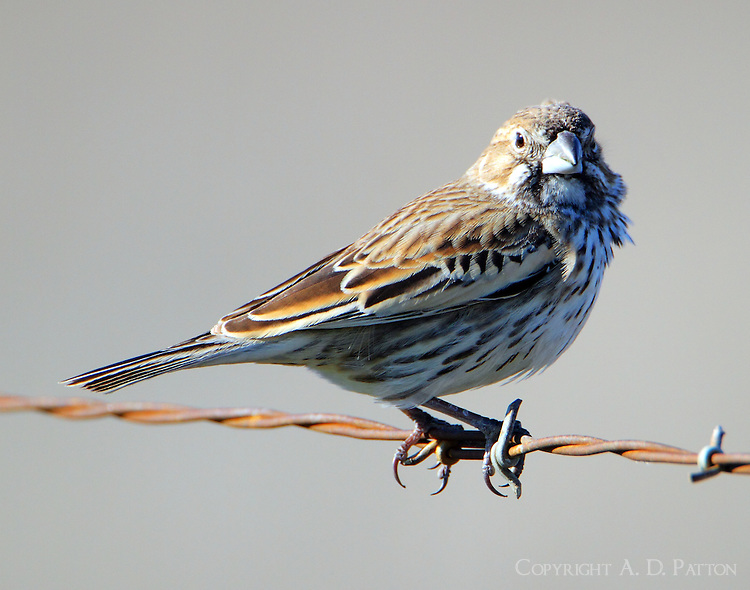 Lark bunting in winter