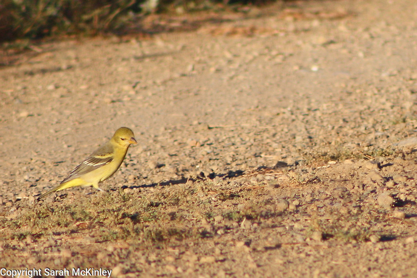 A close-up of a yellow female oriole hunting for prey among the pebbles and weeds on a dirt road outside of Willits in Mendocino County in Northern California.