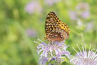 03322-01817 Great Spangled Fritillary (Speyeria cybele) on Wild Bergamot (Monarda fistulosa) Marion Co. IL