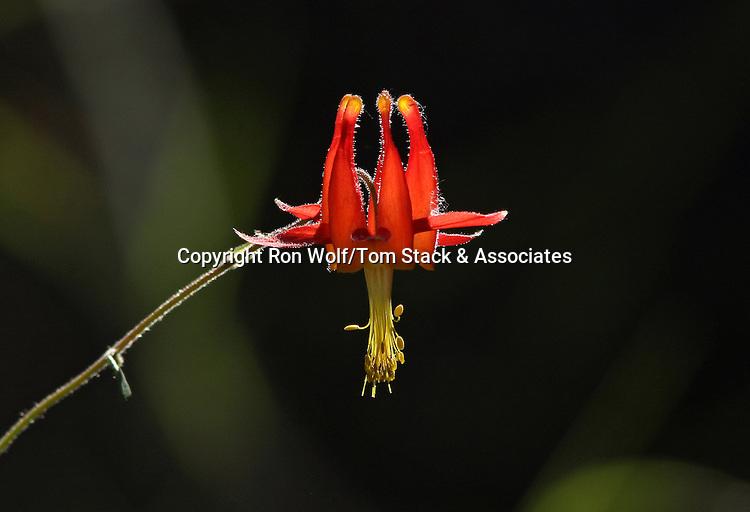 Crimson Columbine (Aquilegia formosa). Stevens Creek County Park. Cupertino, Santa Clara Co., Calif.