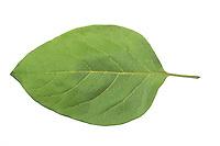 Echte Quitte, Cydonia oblonga, Quince, Cognassier. Blatt, Blätter, leaf, leaves, Blattunterseite