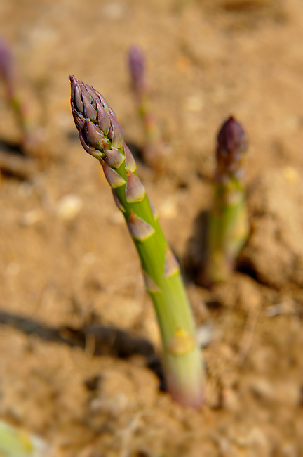 Stock photos of fresh asparagus growing in the fields. Funky stock photos images.