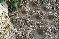 Geflecktflüglige Ameisenjungfer, Gefleckte Ameisenjungfer, Trichter, Fangtrichter der Larve, Ameisenlöwe, Ameisen-Löwe, Euroleon nostras, Le fourmilion parisien, Ameisenjungfern, Myrmeleontidae, antlion, antlions