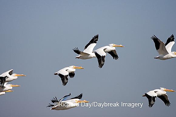 00671-009.14 American White Pelicans (Pelecanus erythrorhynchos) in flight  Riverlands Environmental Demonstration Area,  MO