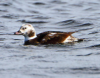 Immature male long-tailed duck