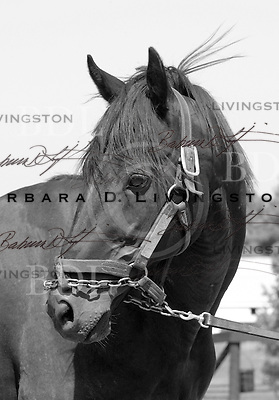 Personal Flag, full brother to Personal Ensign, was a very successful - if difficult stallion.  At McMahons' farm at Saratoga in 2003