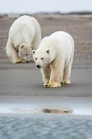 Our boat was the only one in the bay when we encountered this Polar Bear mother and her cub. The curious cub approached the shore to get a better look, as well as a good smell.  Kaktovik, Alaska.