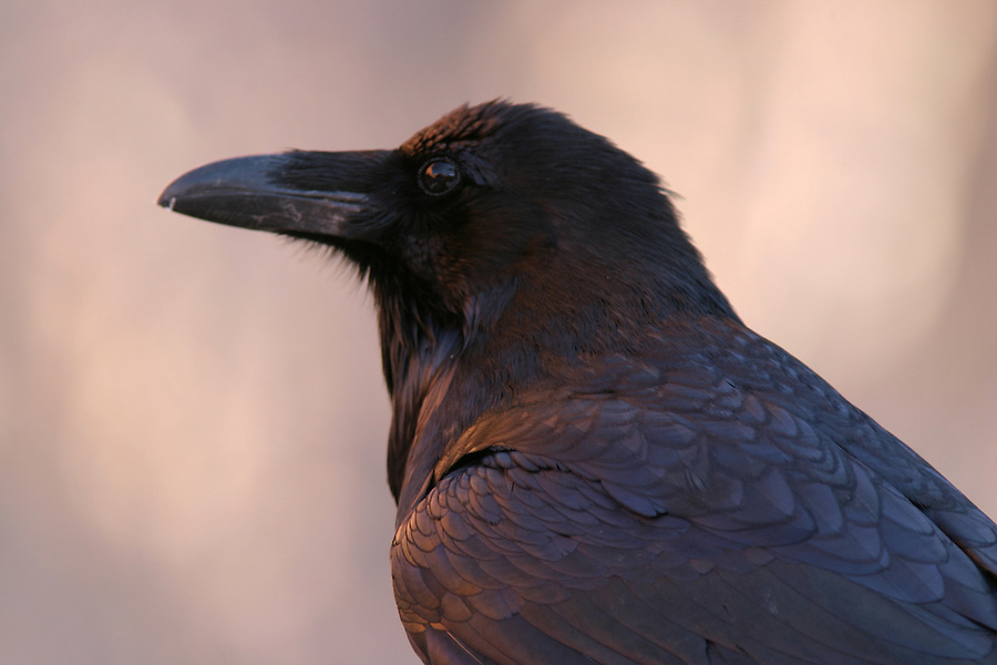 Common Raven, Zion National Park, Washington County, UT