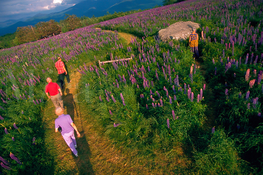 People walking along a path through a field of lupines. Sugar Hill, Franconia, New Hampshire.