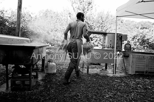 Santa Cruz, California<br /> October 9, 2012<br /> <br /> Fogline Farm's co-owner, Caleb Barron places slaughters  chickens in a machine to remove their feathers as part of the farm's community supported agriculture (CSA) weekly box. In one hour 72 organic chickens are prepared on site.