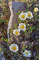 Mountain aven blossoms, Archimedes ridge, Utukok Uplands, National Petroleum Reserve, Alaska.