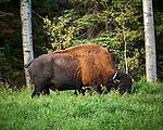 Bison alongside the Alaska-Canada Highway. Image taken with a Nikon D700 camera and 70-300 mm f/4 lens (ISO 280, 300 mm, f/5.6, 1/60 sec).