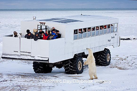 01874-11207 Polar bear (Ursus maritimus) near Tundra Buggy, Churchill, MB