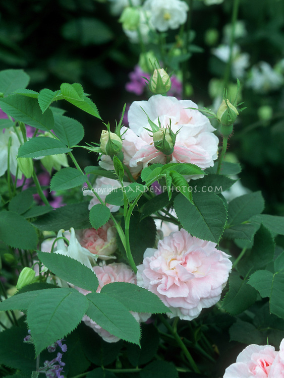 Rosa De Meaux, Centifolia Rose, pale pink heirloom antique old roses