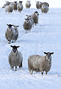 Sheep look for food in a snow covered field high on the hills roads around Belfast, County Antrim, Northern Ireland, Thursday Jan 29th, 2015. A 130 schools where forced to close due to the weather along with bus services. Photo/Paul McErlane