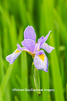 63899-05509 Blue Flag Iris (Iris versicolor) in wetland Marion Co. IL