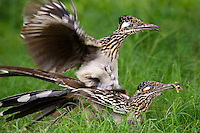 576010051 a wild pair of  greater roadrunners geococcyx califonianus in mating position with the male holding a grasshopper as a food offering on laguna seca ranch in hidalgo county texas united states