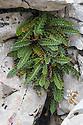 Rustyback Fern {Asplenium ceterach (syn. Ceterach officinarum)} growing in limestone karst region. Plitvice Lakes National Park, Croatia. November.