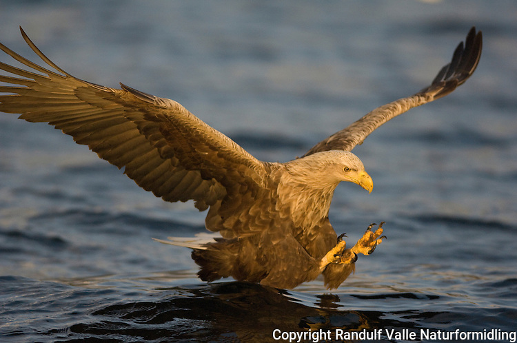 Havørn plukker opp fisk---- White tailed sea eagle picking up a fish