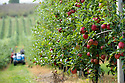 07/10/19<br /> <br /> ***Video also available*** <br /> <br /> Group of skilled workers harvesting British Gala apples by hand.<br /> <br /> Skilled workers are hand-picking British apples at an orchard in Kent, signalling the start of this year's season. Warm days and cold nights in late August and early September have produced an extremely vibrant crop.  <br /> <br /> All Rights Reserved, F Stop Press Ltd +44 (0)7765 242650 www.fstoppress.com rod@fstoppress.com